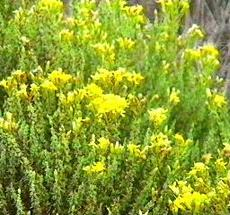 Ericameria ericoides, Mock Heather, an inhabitat of the coastal sage scrub, is here shown in its natural habitat in a very old photo.