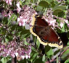 Arctostaphylos Baby Bear Manzanita Bush with a Mourning Cloak Butterfly. Butterflies are one of the pollinators of manzanitas. - grid24_6