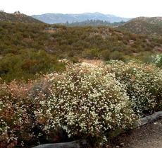 California Buckwheat,  Eriogonum fasciculatum foliolosum on a hillside above the nursery. - grid24_6