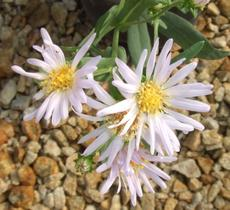 Aster occidentalis, Western Aster flower