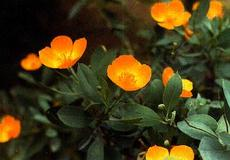 This photo shows the form of the flowers and leaves of Dendromecon harfordii, Island Bush Poppy, but the actual flower color is yellow, not orange.