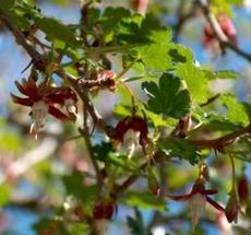 Ribes californicum, California hillside gooseberry - grid24_6