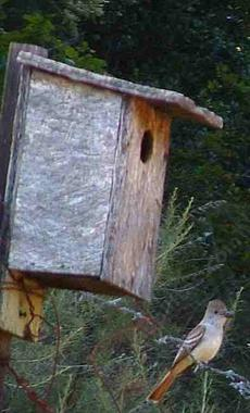Ash-throated flycatcher, Myiarchus cinerascens by his nest box - grid24_6