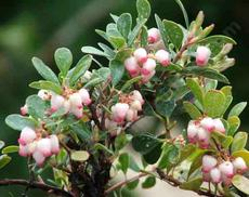San Bruno manzanita grows as a nearly flat ground cover with green foliage and pink flowers.