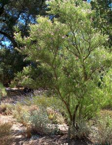 A young tree of Chilopsis linearis, Desert Willow, in the Santa Margarita nursery garden. - grid24_6