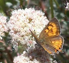 Tailed Copper Butterfly, Lycaena (Tharsalea) arota on a California Buckwheat - grid24_6