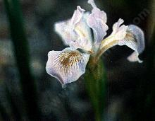 Iris munzii, Tulare Lavender Iris, has big, beautiful lavender flowers, and grows in sunny, moist spots.