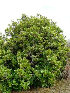 Myrica californica, Pacific Wax Myrtle in Morro Bay - grid24_6