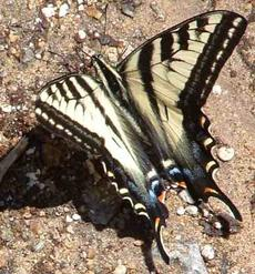 Western Tiger Swallowtail Butterfly,