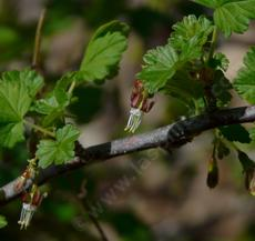 Ribes divaricatum, Coast Black Gooseberry - grid24_6