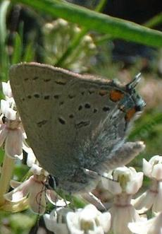 California Hairstreak butterfly on a Milkweed - grid24_6