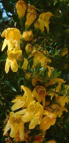 Keckiella antirrhinoides, Yellow Bush Snapdragon, has very fragrant, golden flowers, and small resinous leaves.  Sometimes called Yellow Bush Penstemon. - grid24_6