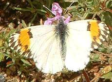 Sara orange tip butterfly - grid24_6