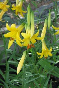 "Lilium parryi,  Lemon Lily, has fragrant ""Easter-Lily-type"" flowers."