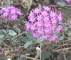 Abronia villosa var. villosa,  Sand Verbena, in the creosote sage scrub plant community of the Mojave desert of  California.