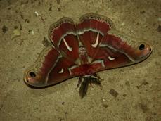 Ceanothus Silk Moth on concrete. - grid24_6
