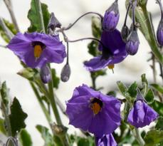 Solanum xanti, Purple Nightshade with it's hanging flowers - grid24_6