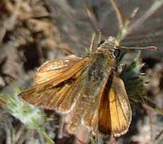 Brown Skipper, maybe Tilden's - grid24_6
