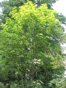 Acer macrophyllum, Big Leaf Maple tree. - grid24_6