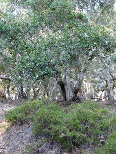 Arctostaphylos Monterey Carpet grows as a nearly flat groundcover. - grid24_6