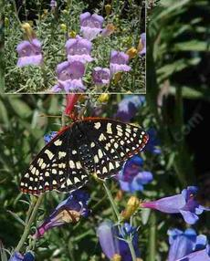 Penstemon heterophyllus australis, Foothill Penstemon, attracts Checkerspot butterflies, and so creates a living garden painting. - grid24_6