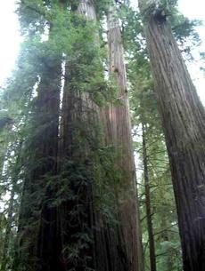 California coastal redwood forest looking up into the trees. We are small - grid24_6