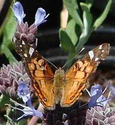 American Painted Lady Butterfly, Vanessa virginiensis working a Salvia clevelandii flower - grid24_6