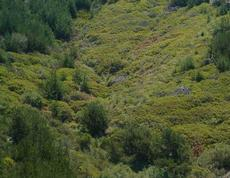 Arctostaphylos crustacea subsp. eastwoodiana, Harris Grade manzanita, in its natural habitat of chaparral, in the California coastal zone.  Vaccinium ovatum is also present here along with Pinus muricata. Here it is making a square mile of mounding ground cover about 2 ft. high. It would be lovely if someone would give us money to do this. - grid24_6