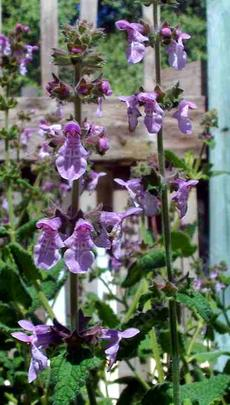Stachys bullata, Hedge Nettle plant likes moist sun or part shade.
