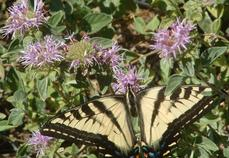 The Pale Swallowtail butterfly loves Monardella villosa, Coyote Mint.  - grid24_6