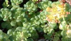 Sedum oreganum, Green Stonecrop with yellow flowers