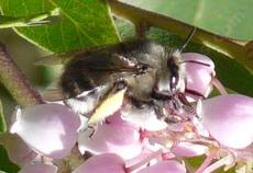 Anthophora species, Digger bee on an Arctostaphylos flower - grid24_6