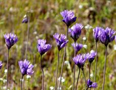Brodiaea pulchella, or Dichelostemma capitatum,  Wild Hyacinth, flowers in very early spring, and so provides nectar for pollinators, when not much else is flowering.  - grid24_6
