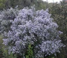 This Ceanothus sorediatus in bloom