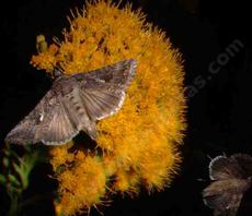 Ericameria arborescens, Golden Fleece after dark