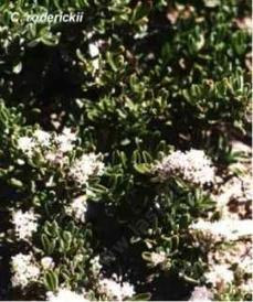 An old picture of Ceanothus roderickii - grid24_6