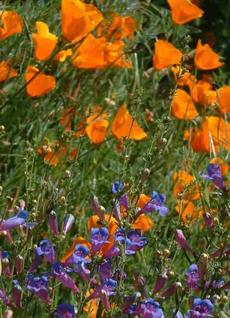 Penstemon Margarita BOP mixed with California Poppy - grid24_6