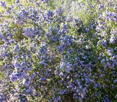 This California Lilac grows between Arroyo Grande and Santa Maria - grid24_6