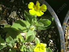 Mimulus primuloides, Monkey Moss, is a cheerful, fuzzy-leafed small, soft perennial
