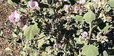 This is a very old photo of Malacothamnus davidsonii, Davidson's Bush Mallow, from southern California.
