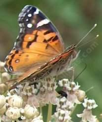 Painted lady butterfly on milkweed flower - grid24_6