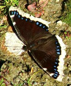 Mourning Cloak Butterfly - grid24_6