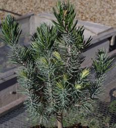 Pinus quadrifolia, Parry Pinyon, a very slow growing pine, in the nursery at Santa Margarita, California. - grid24_6