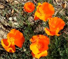 California Poppies are many colors, these are hot orange - grid24_6