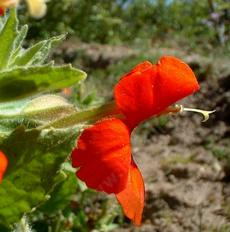 Here you can see a side view of a flower of Mimulus cardinalis, Scarlet Monkey Flower. - grid24_6