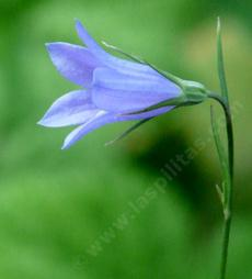 Sideview of a single flower of Campanula rotundifolia, California Harebell.