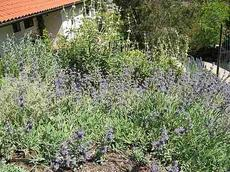 Salvia gracias as a  non-irrigated ground cover  in San Luis Obispo - grid24_6