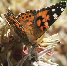 A Painted lady butterfly on a Showy Milkweed - grid24_6
