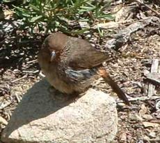 California Towhee sitting on a rock. - grid24_6