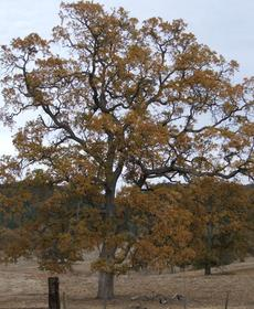 Quercus lobata, White Oak with fall color.